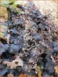 Heuchera micrantha 'Palace Purple' | Purperklokje