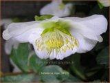 Helleborus niger | Kerstroos, Stinkend nieskruid