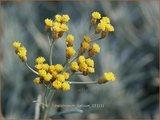 Helichrysum italicum   Kerrieplant, Strobloem