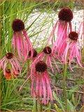 Echinacea pallida | Zonnehoed