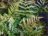 Dryopteris erythrosora 'Prolifica' | Rode sluiervaren, Herfstvaren
