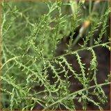 Dryopteris filix-mas 'Linearis Polydactyla' | Niervaren, Mannetjesvaren