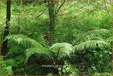 Dryopteris affinis | Geschubde mannetjesvaren