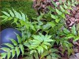 Cyrtomium falcatum   IJzervaren