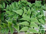 Cyrtomium fortunei clivicola   IJzervaren