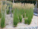 Calamagrostis acutiflora 'Karl Foerster' | Struisriet
