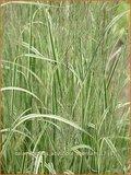 Calamagrostis acutiflora 'Overdam' | Struisriet