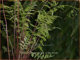 Athyrium filix-femina 'Lady in Red' | Wijfjesvaren