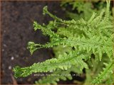 Athyrium filix-femina 'Victoriae'   Wijfjesvaren