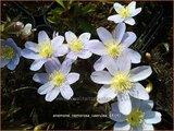 Anemone nemorosa 'Caerulea'   Bosanemoon
