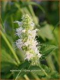 Agastache rugosa 'Alabaster'   Dropplant, Anijsnetel