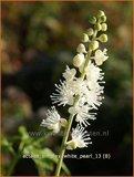 Actaea simplex 'White Pearl' | Zilverkaars, Christoffelkruid