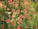 Achillea millefolium 'Paprika' | Duizendblad
