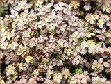 Acaena microphylla 'Kupferteppich' | Stekelnootje