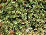 Acaena microphylla 'Dichte Matte' | Stekelnootje