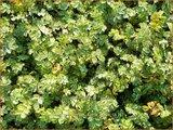 Acaena microphylla 'Dichte Matte' | Stekelnootje | Braunblättriges Stachelnüsschen