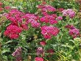 Achillea millefolium 'Christel' | Duizendblad | Gewöhnliche Schafgarbe