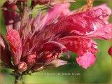 Agastache mexicana 'Red Fortune' | Dropplant, Anijsnetel | Limonen-Duftnessel