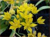 Allium moly 'Jeannine' | Goudlook, Gele sierui, Sierui, Look | Gold-Lauch