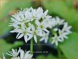 Allium ursinum | Daslook, Berenlook, Look | Bärenlauch