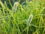 Alopecurus pratensis 'Aureovariegatus' | Vossenstaart | Fuchsschwanzgras