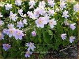 Anemone nemorosa 'Robinsoniana' | Bosanemoon, Anemoon | Busch-Windröschen