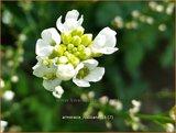 Armoracia rusticana | Mierikswortel | Gewöhnlicher Meerrettich