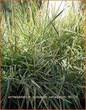 Arrhenatherum bulbosum 'Variegatum' | Glanshaver, Knolhaver | Glatthafer