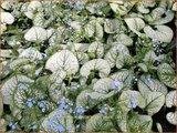 Brunnera macrophylla 'Silver Heart' | Kaukasische vergeet-mij-nietje, Vast vergeet-mij-nietje | Kaukasusvergissme