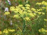 Foeniculum vulgare | Venkel | Gewöhnlicher Fenchel