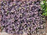 Acaena inermis 'Purpurea' | Stekelnootje | Unbewehrtes Stachelnüsschen