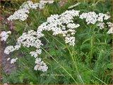 Achillea millefolium | Duizendblad | Gewöhnliche Schafgarbe
