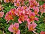 Alstroemeria 'Little Miss Rosalind' | Incalelie, Peruviaanse lelie | Inkalilie
