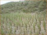 Ammophila arenaria | Helmgras (inlands), Helm | Gewöhnlicher Strandhafer