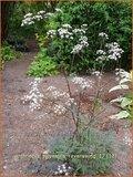 Anthriscus sylvestris 'Ravenswing' | Fluitekruid | Wiesenkerbel