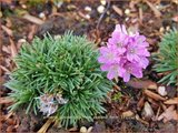 Armeria juniperifolia 'New Zealand Form'   Engels gras   Zwerg-Grasnelke