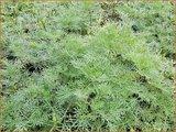 Artemisia abrotanum   Citroenkruid, Alsem, Bijvoet   Eberraute