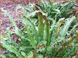 Asplenium scolopendrium 'Cristatum'   Tongvaren, Streepvaren   Hirschzungenfarn