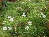 Aster ericoides 'Prostrate Form' | Heideaster, Aster | Heide-Aster