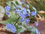 Brunnera macrophylla 'Alexander's Great'   Kaukasische vergeet-mij-nietje, Vast vergeet-mij-nietje   Kauka