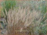 Calamagrostis brachytricha | Diamantgras, Struisriet | Diamant-Reitgras