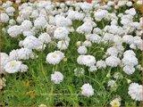 Chamaemelum nobile 'Ligulosum' | Roomse kamille | Römische Kamille
