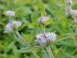 Pycnanthemum pilosum 'Bees' Friend' | Bergmunt | Behaarte Scheinbergminze