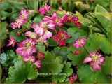 Saxifraga fortunei 'Gokka' | Herfststeenbreek, Steenbreek | Herbst-Steinbrech