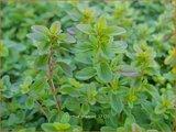 Thymus praecox | Kruiptijm, Tijm | Frühblühender Thymian
