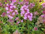 Thymus serpyllum 'Magic Carpet' | Wilde tijm, Kleine tijm, Tijm | Sand-Thymian