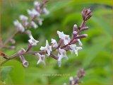 Aloysia triphylla | Citroenverbena | Zitronenverbene