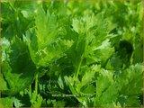 Apium graveolens | Selderij, Moerasscherm | Eppich