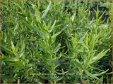 Artemisia dracunculus 'French Dragon' | Franse dragon, Drakenkruid, Alsem, Bijvoet | Estragon