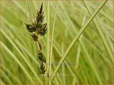 Carex brunnea 'Jenneke' | Zegge | Bräunliche Segge